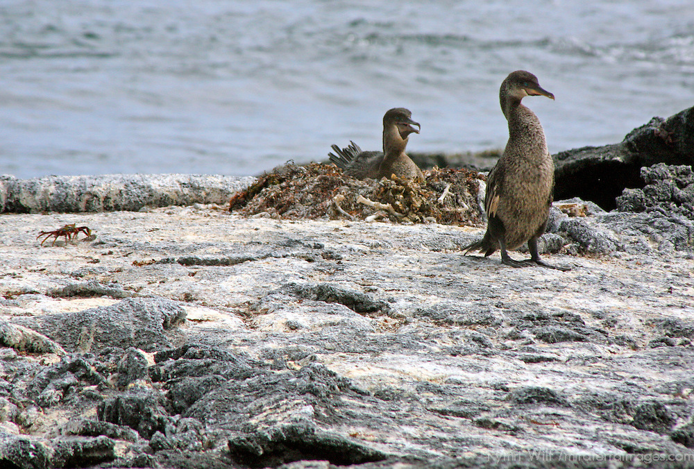 South America, Ecuador, Galapagos Islands. The flightless Galapagos Cormorant.
