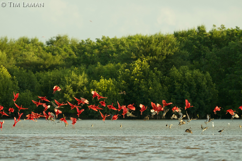 A large group of Scarlet Ibises (Eudocimus ruber) taking flight over the mud flats of the Orinoco River Delta, Venezuela.
