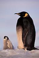Rare melanistic emperor penguin with chick, Aptenodytes forsteri, Weddell Sea, Antarctica