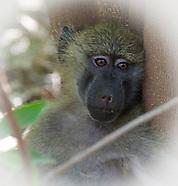 Monkeys - Tumbili