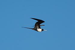 A Greater Frigate bird in flight near Adele Island on the Kimberley coast.  The birds roost and nest on the island, the most remote island off the Kimberley coast of Western Australia.
