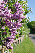 Lilac (syringa) bush in flower overhangs a fence by a country lane on a summers day near Charlton Kings in Gloucestershire, England.