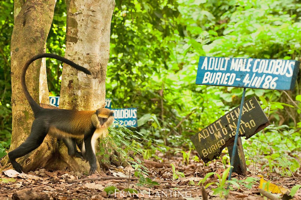 Mona monkey, Cercopithecus mona, in monkey cemetary, Boabeng-Fiema Monkey Sanctuary, Ghana