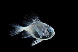 [captive] deep sea fish Atlantic Ocean, close to Cape Verde  