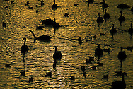 Swans silhouetted on the River Exe as the setting sun turns the water golden.  River Exe. Exeter Historic Quayside, Exeter, Devon.  The mute swans of Exeter quayside are well known attraction on the river, popular with tourists and locals alike.