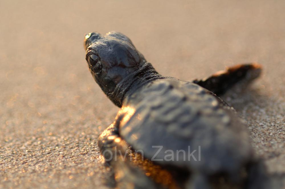 Soon the hatchling loggerhead sea turtle (Caretta caretta) will be safe from the ghost crabs and the fast growing heat of the rising morning sun. | Unechte Karettschildkröte (Caretta caretta)