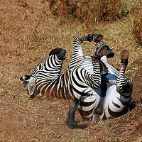 Africa, Tanzania, Ngorongoro Crater. Zebra rolling on back.