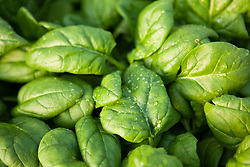 Spinach growing in a greenhouse in Stratham, New Hampshire.  Grown and harvested by Heron Pond Farm.  January.