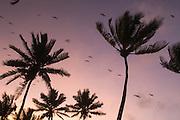 Coconut Palm (Cocos nucifera) &amp; Magnificent Frigatebird (Fregata magnificens)<br /> Halfmoon Caye<br /> Lighthouse Reef Atoll<br /> BELIZE, Central America