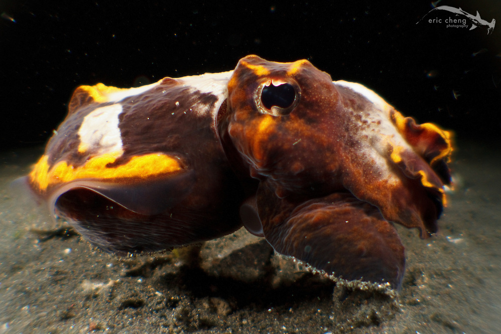 A flamboyant cuttlefish (Metasepia pfefferi). Lembeh Strait, Indonesia. echeng100303_0252354