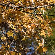 Fall sweetgum leaves, autumn, fall leaves.