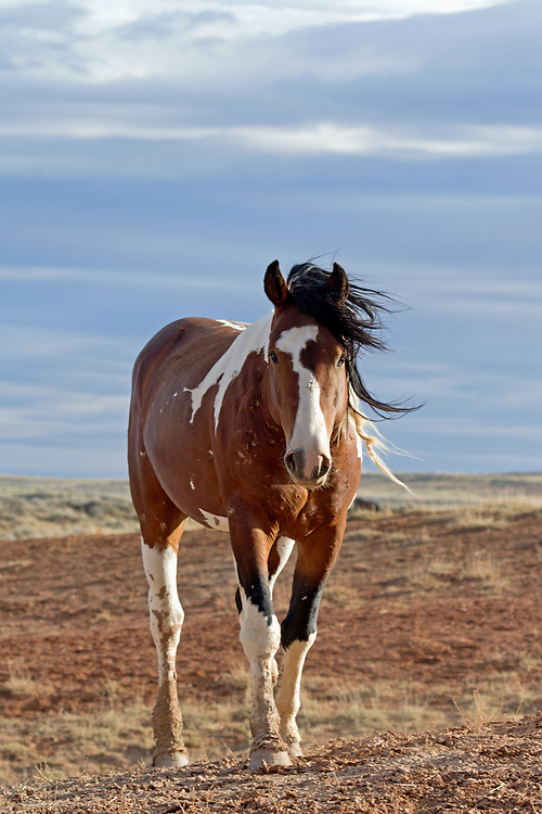 The wild mustang stallion, Remington, makes his way to the watering hole on a stormy morning at McCullough Peaks Herd Management Area.