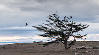 Caracara and a lonley tree in silhouette at the Chilean pampa, Patagonia