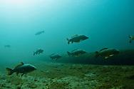 School of Common Carp<br /> <br /> Christopher Morey/Engbretson Underwater Photo