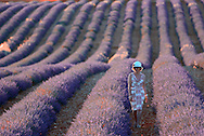 woman with hat walking in Lavender Field,Vaucluse,Provence,France,Europe<br /> MR 0350