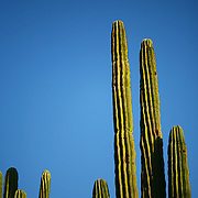 """SHOT 12/18/2007 - Saguaro push skyward as the sun sets and the moon rises over the desert in Phoenix, Az. Saguaro, pronounced """"sah-wah-roh"""", (Carnegiea gigantea) is a large, tree-sized cactus species in the monotypic genus Carnegiea. It is native to the Sonoran Desert in Arizona and California, United States and northern Mexico. Saguaros are slow growing, taking up to 75 years to develop a side arm. The arms themselves are grown to increase the plants reproductive capacity (more apices equal more flowers and fruit). The Desert Botanical Garden is a 50 acre (20 ha) botanical garden located within Papago Park in Phoenix, Arizona, USA. Founded in 1939, the garden now has more than 21,000 plants, including 139 species which are rare, threatened or endangered. Of special note are the rich collections of agave (176 taxa) and cacti (10,350 plants in 1,350 taxa), especially the Opuntia sub-family. The Desert Botanical Garden has been designated as a Phoenix Point of Pride..(Photo by Marc Piscotty/ © 2007)"""