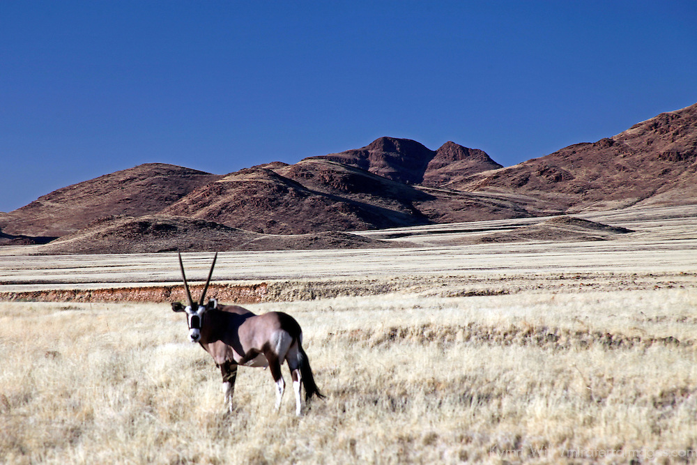 Africa, Namibia, Sossusvlei. Lone Oryx in the Namib Rand.