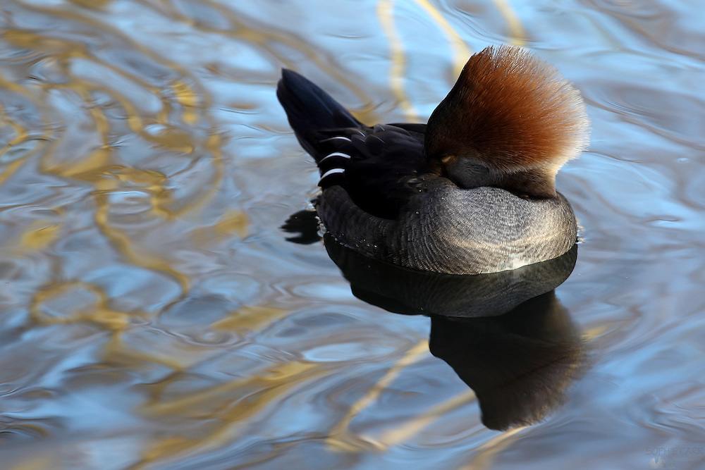 Female Hooded Merganser, London Wetland Centre, Barnes