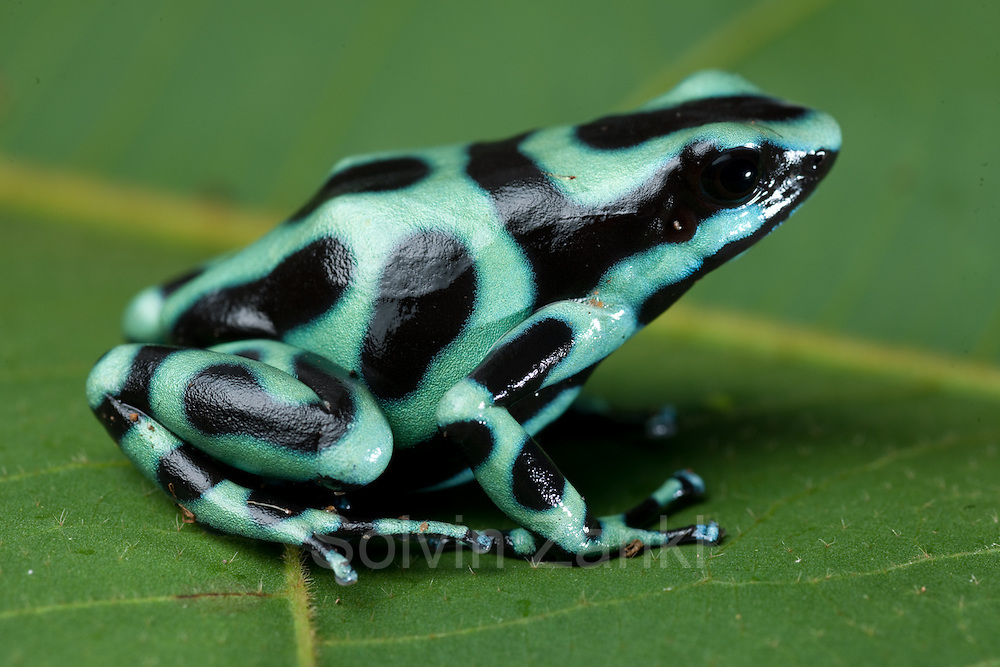 Green Poison Arrow Frog (Dendrobates auratus), Costa Rica.