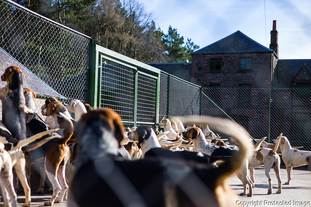 Abbotrule, Bonchester Bridge, Hawick, Scottish Borders, UK. 4th May 2016. Foxhounds of the Jedforest Hunt enjoy the warmth of the evening sun on a spring evening while at home in their kennels near Bonchester Bridge.