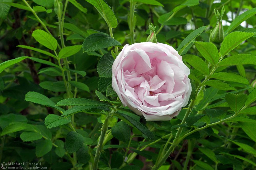 "Rosa rugosa 'Schneekoppe' or ""Snow mountain"" flower blooming in a backyard rose garden"