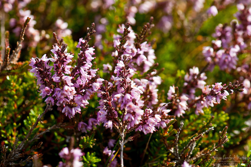 Calluna vulgaris, heather, grows wild throughout Iceland.