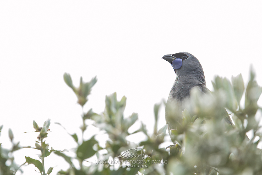 The kokako is mostly heard and seen at dawn and in the morning.  In contrast to the energetic and bright voices of tuis and bellbirds, the kokako's mournful song is a reminder of the destruction of New Zealand birdlife and forests.  Around twenty plus kokako are carefully monitored on Tiritiri Matangi Island, New Zealand.