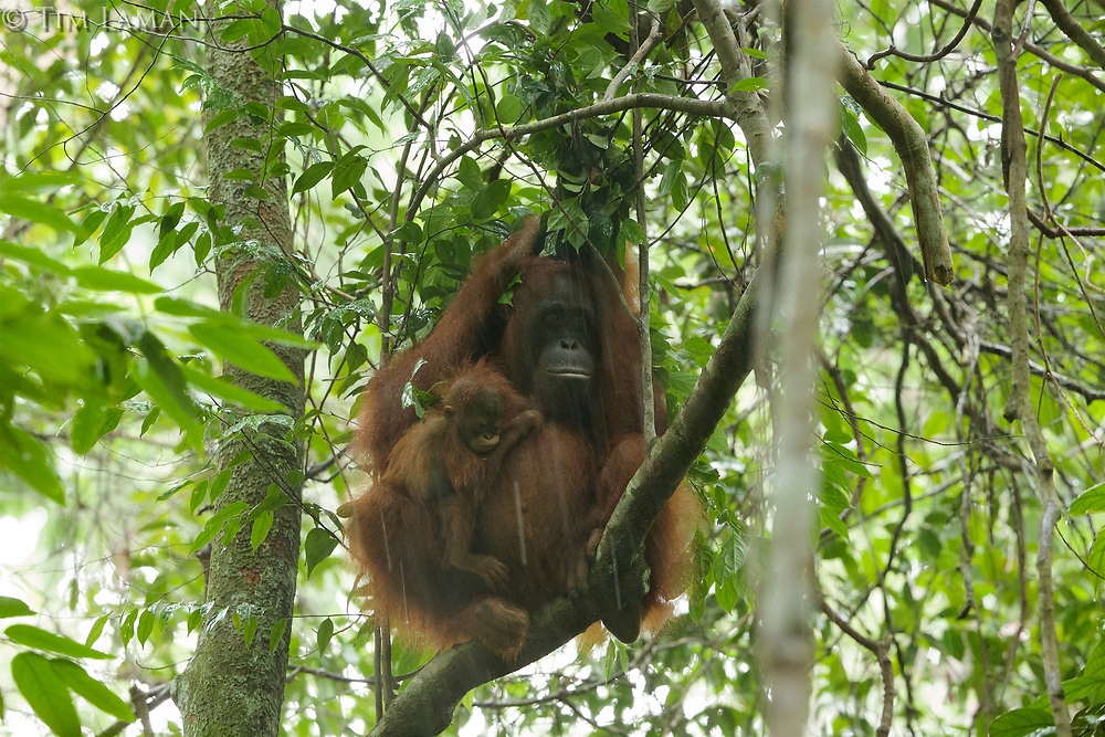 Adult female Walimah with one month old infant.<br />In heavy rain, taking shelter with a &quot;cape&quot; of leafy branches heald over head and back.  But note branches still attached to tree.  Distinct from typical &quot;leaf umbrella&quot; where branches are broken off.<br /><br /><br />Bornean Orangutan <br />Wurmbii Sub-species<br />(Pongo pygmaeus wurmbii)<br /><br />Gunung Palung Orangutan Project<br />Cabang Panti Research Station<br />Gunung Palung National Park<br />West Kalimantan Province<br />Island of Borneo<br />Indonesia