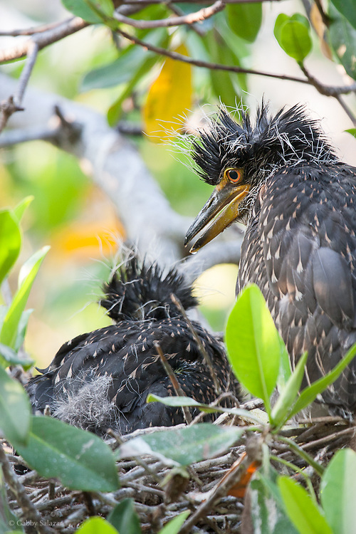 "Juvenile black-crowned night herons. J. N. ""Ding"" Darling National Wildlife Refuge, Sanibel Island, Florida."