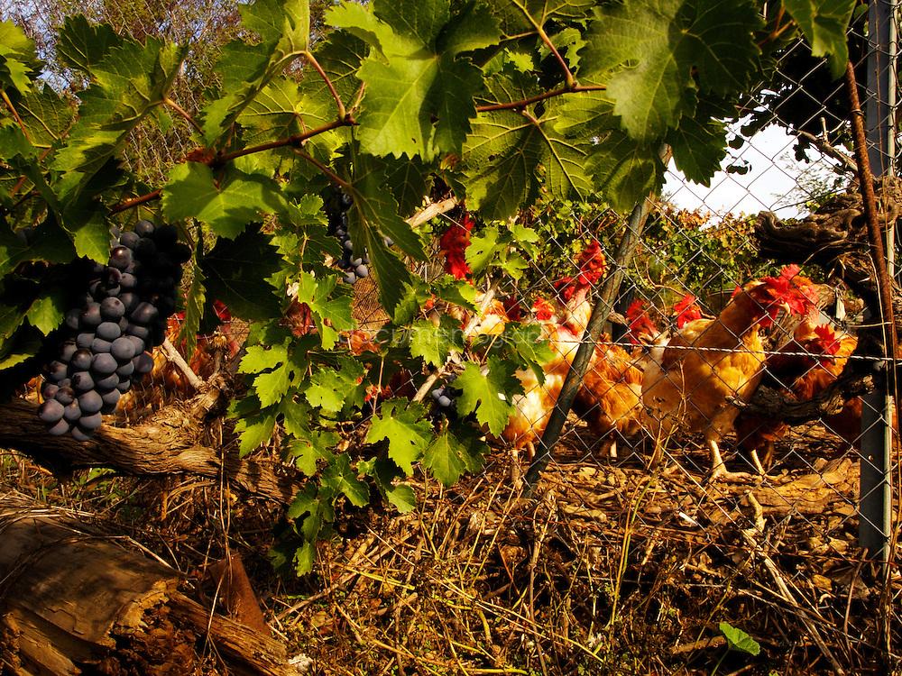 Yves Gros domaine les Fouques, les Premiers Borrels, 1405 route de Hyères à Pierrefeu: ferme-auberge, volailles, vins.