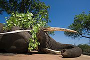 Tranquilized elephants on transporter truck<br /> &amp; capture team<br /> (Loxodonta africana)<br /> Elephants darted from helicopter to be relocated.<br /> Zimbabwe