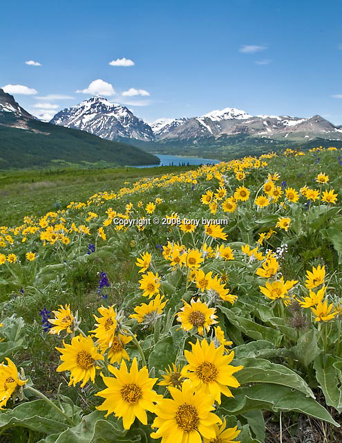 spring flowers, balsom root flower, two medicine valley, glacier national park, crown of the continent, montana, blackfeet reservation, montana