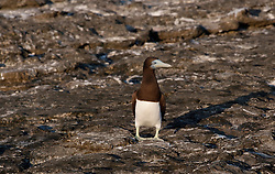 A Booby (Sula leucogaster) sits on the rocks in the morning suna at the Lacepede Islands, an important rookery and nesting site on the Kimberley coast.