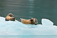 Curious harbor seals (Phoca vitulina) rest on an iceberg near Dawes Glacier in the Endicott Arm fjord of Tracy Arm - Fords Terror Wilderness in the Inside Passage of Southeast Alaska.  Tongass National Forest. Summer.  Morning.
