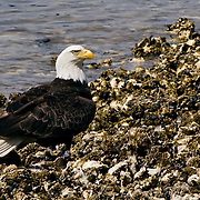 This eagle was resting on the shore at the southern end of the Hood Canal