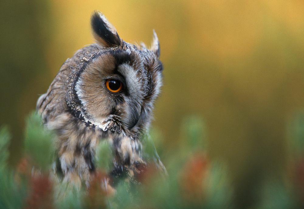 Long eared owl at roost in pine