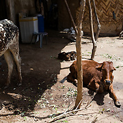 Two cows and a goat in the courtyard of Sherbano's family living unit. <br /> Most people in Pakistan live in a joint family system. Elderly people heavily rely on their children and grandchildren to provide for them when they get older. With poverty rising and the drug mafia souring in their neighborhood, the animals are a sign of wealth. Rehri Goth, Karachi, Pakistan, 2011