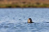 California Sea Otter (Enhydra lutris) pup hiding behind its mother - Elkhorn Slough, California