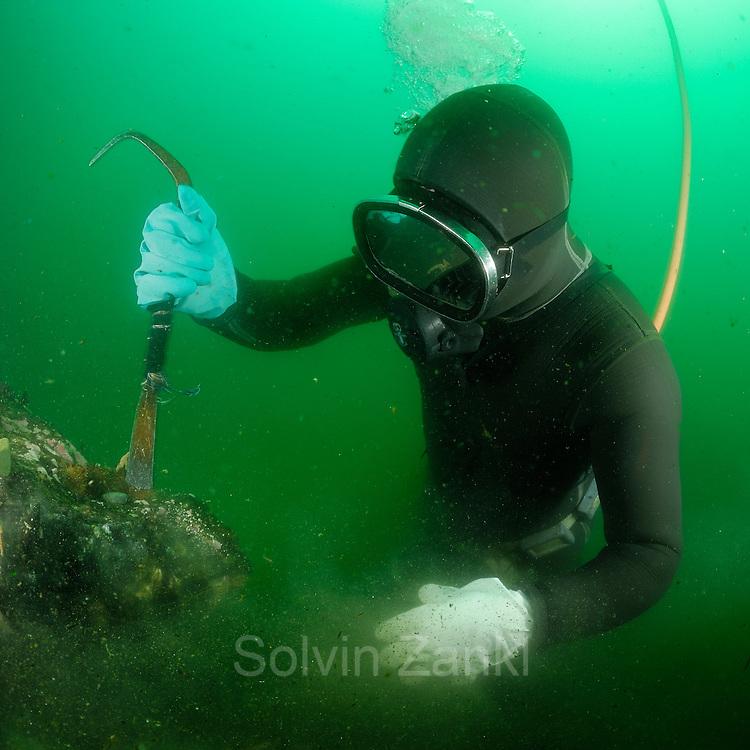 Diver (Fischerman) collecting Chilean blue mussel (Mytilus chilensis) Comau Fjord, Patagonia, Chile   Taucher sammelt (Mytilus chilensis) um sie dann auf dem Markt zu verkaufen. Comau Fjord, Chile