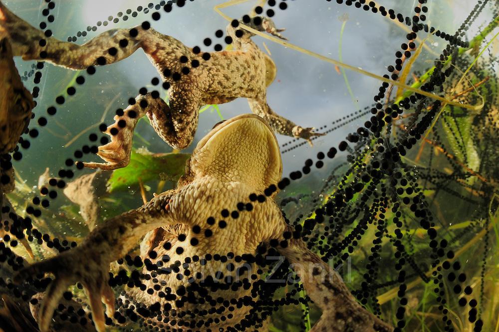 Common toad (Bufo bufo) with in strings of toadspawn Solling in the Central German Upland. Solling, Germany | Erkröten-Paar (Bufo bufo) beim Laichen, die schwarzen Punkte sind die Eier in der Laichschnur