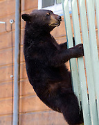 Alaska. Black Bear (Ursus americanus)  hanging from 2nd story balcony, Anchorage.