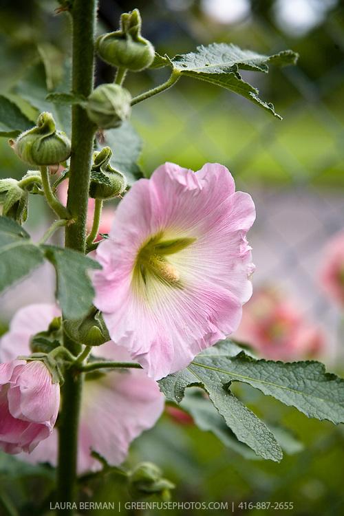 Alcea rosea - Common Hollyhock.