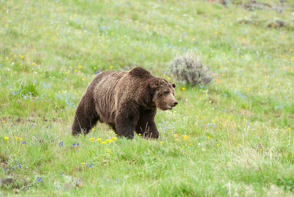 Grizzly Bear (Urcus arctos), Yellowstone National Park, Wyoming