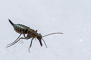 Mid-winter Boreus or Snow Scoprionfly (Boreus brumalis) - female<br /> WISCONSIN: Sauk Co.<br /> Baraboo<br /> 17-Jan-2015<br /> J.C. Abbott &amp; K.K. Abbott