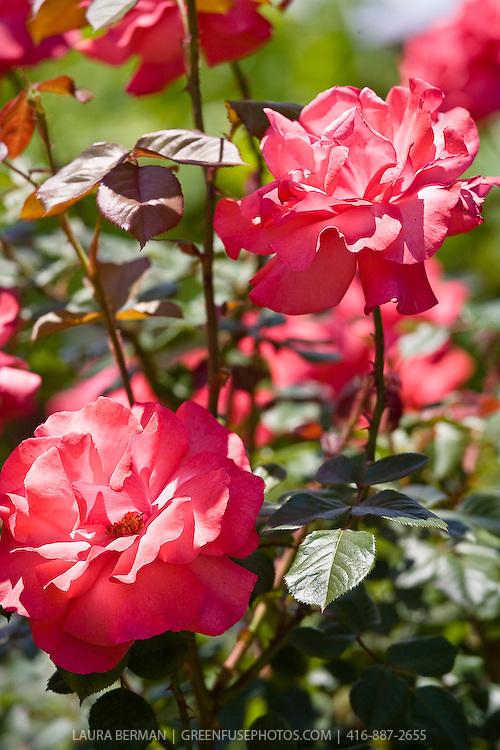 Salmon pink hybrid tea roses.