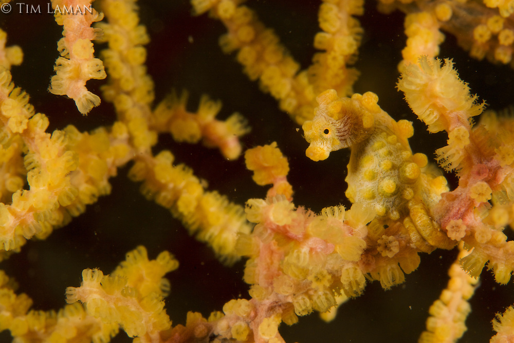 Pygmy Seahorse (Hippocamaus bargibanti) in yellow color phase living in a yellow sea fan.
