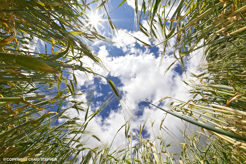 Field of barley from low down ground level looking up to sky