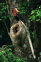 Helmeted Hornbill (Rhinoplax vigil) outside the nest hole.  .Budo Sungai-Padi Mountains National Park, Thailand.