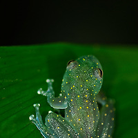 In recent years, conservation biologists have drawn our attention to a worldwide decline in wild populations of frogs, toads, and salamanders - a phenomenon that has come to be called the Global Amphibian Crisis.  While habitat loss is still considered the most serious threat to the majority of species, especially in the humid tropical forest regions of the world, a fungal disease known as chytrid has been identified as being exceptionally deadly to amphibians, while not seeming to affect other groups of vertebrates - fish, reptiles, birds and mammals. A frog-killing fungus in Central and South America spreads in waves like other infectious diseases, challenging a theory that climate change is to blame. El Valle Amphibian Rescue Center in El Valle de Anto?n en Panama?. In response to this need, the Houston Zoo established the Center in central Panama. Cochranella euknemus.Fringe-Limbed Tree Frog.
