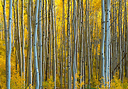 Image of quaking aspens in the fall near Telluride, Colorado, American Southwest